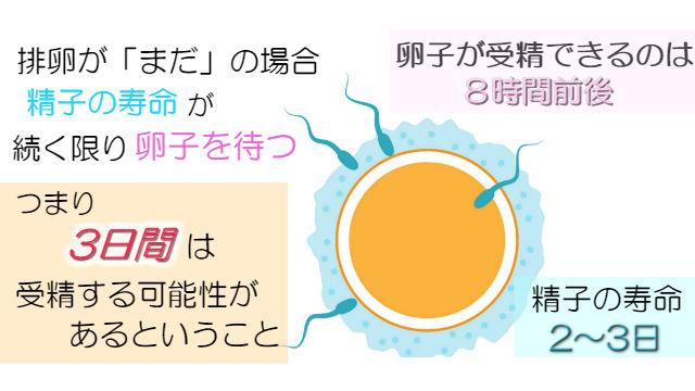 卵子と精子の寿命と受精まで